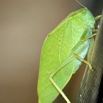 Leaf like Grasshopper