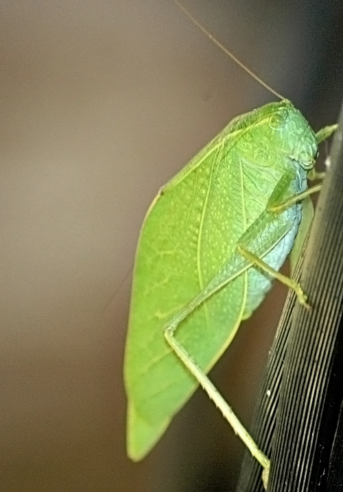 Patrick the Leafhopper