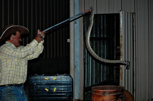 rattlesnake transfer
