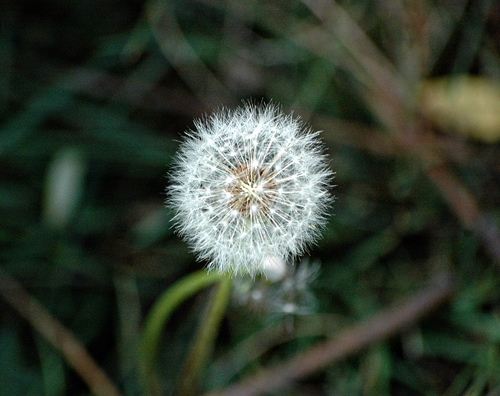 make a wish flower