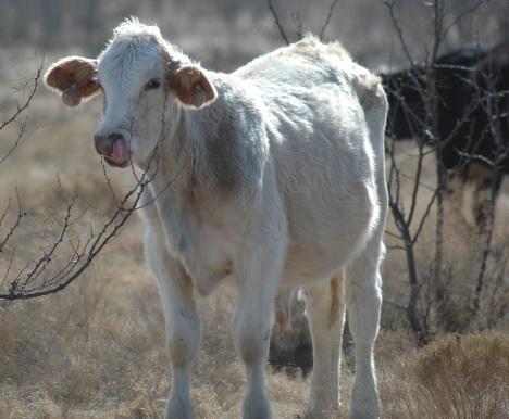 cowpicker.jpg