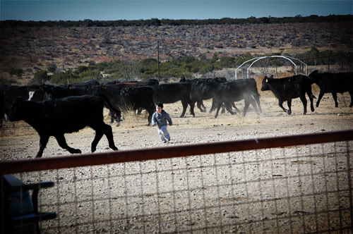 Chasing cattle
