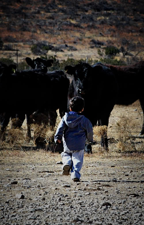 Chasing more cattle