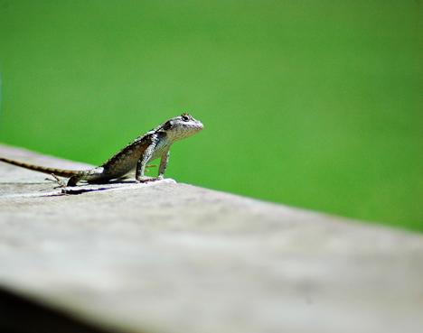 Leapin' Lizard!