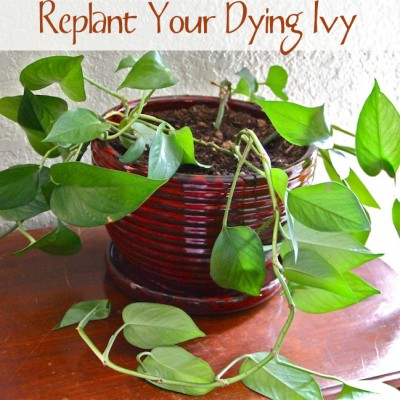 Spring DIY – Replant Your Dying Ivy