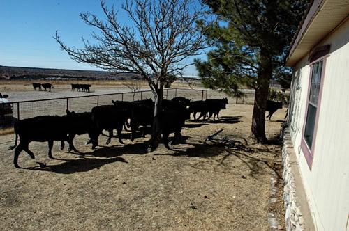 steers in yard