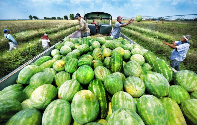 wiggins watermelon farms